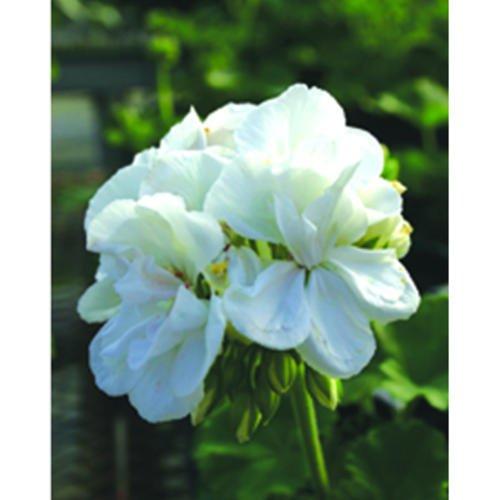 Geranium 'Rocky Mountain White'