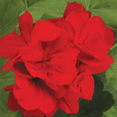 Geranium 'Boldly Series' (Proven Winners)