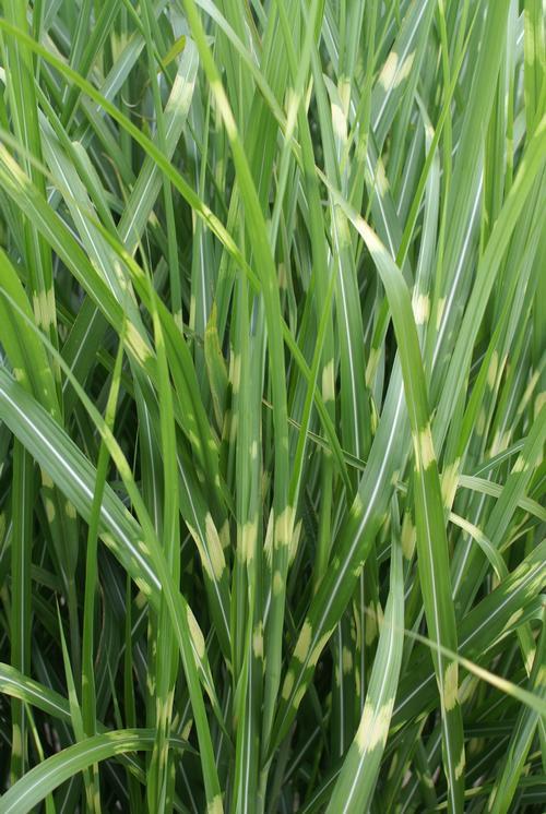 Grass 'Miscanthus Strictus'