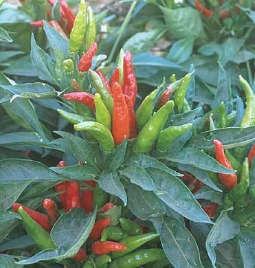 Pepper 'Thai Hot'