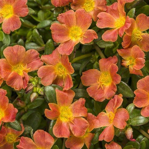 Portulaca 'Mojave Tangerine'