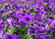 Wave Petunia 'Easy Wave Blue'