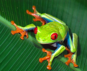 Red-Eye-Tree-Frog-300x244