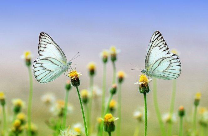 Schmetterlinge auf der Wiese - Freiheit durch Coronavirus