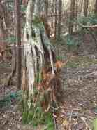 """I loved how this birch was growing from a decaying stump of another tree. The kids thought it looked rather """"ghoulish!"""""""