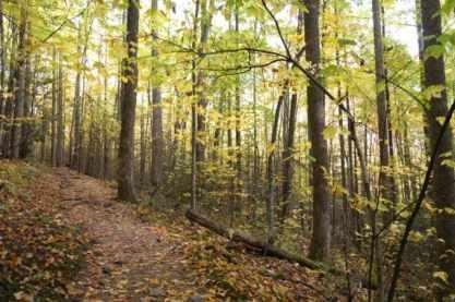Striped Maple Leaf Ghosts