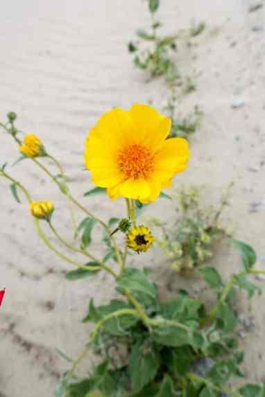 Desert Gold wildflower