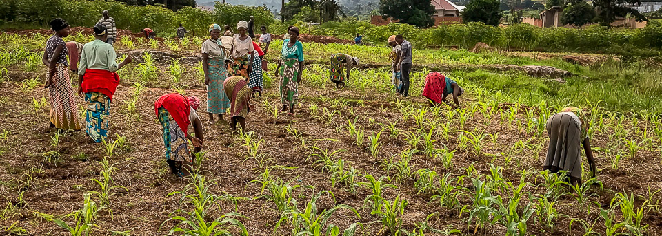 Farmers planting maize in Burundi