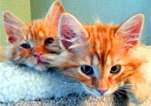 Two orange tabbies