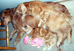 Two cats cuddle with a Golden Retriever and stuffed dragon