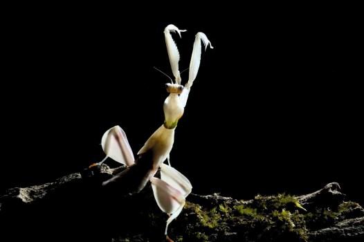 Mantis-white