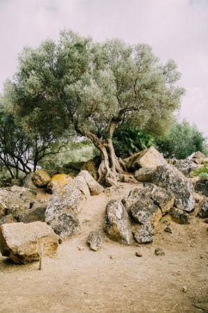 Cuidar un olivo en casa