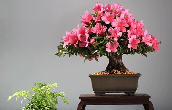 flor 02 azaleia-sala