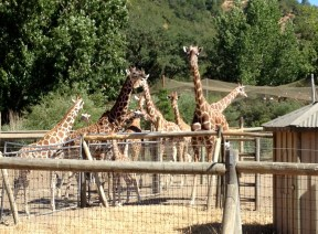 Safari West (27)