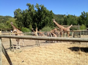 Safari West (29)