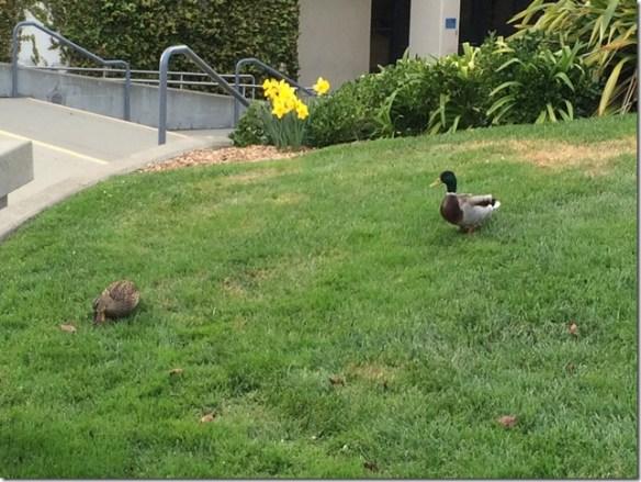 SF State Ducks (2)