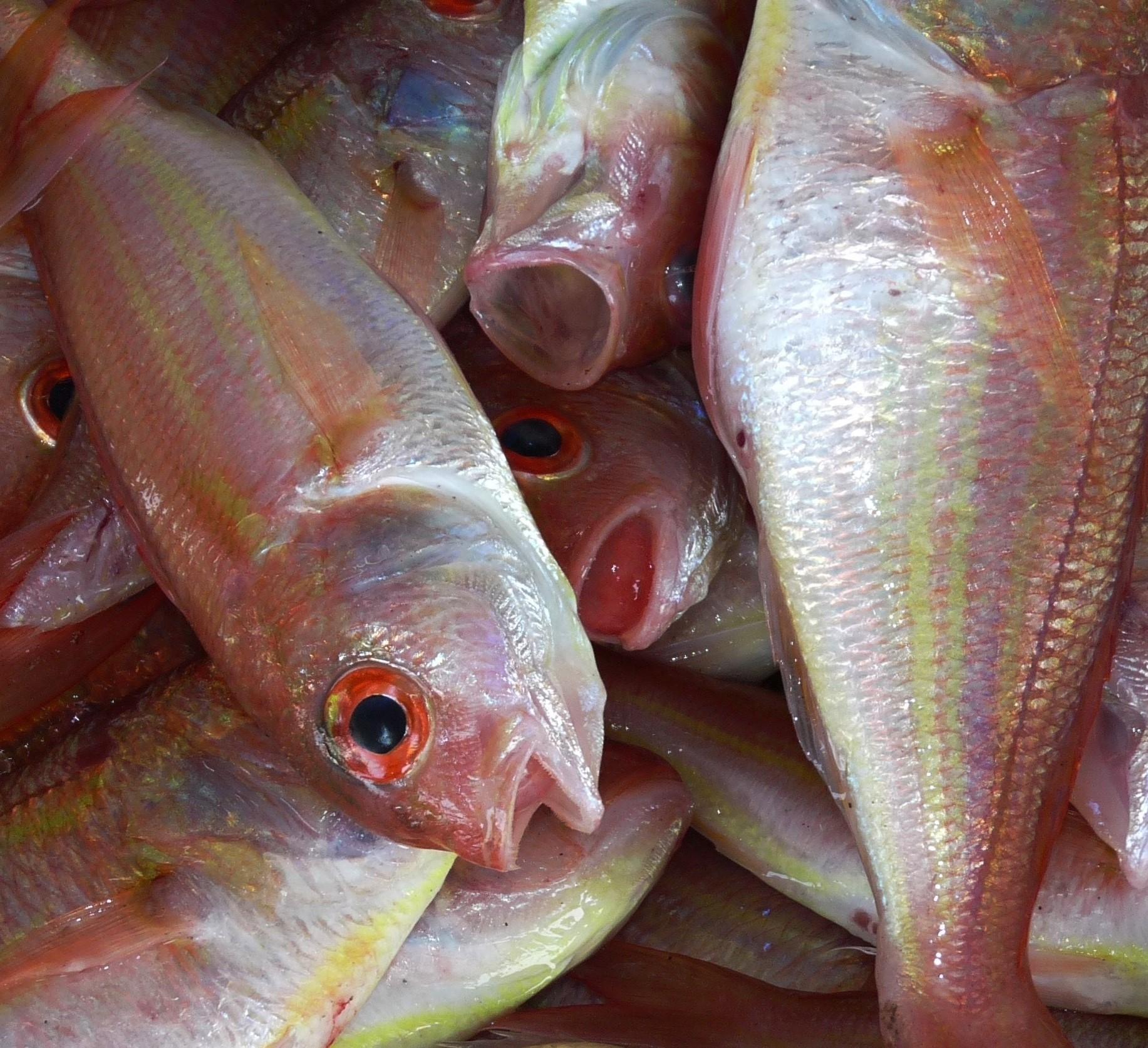 Verificando la calidad del pescado