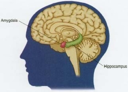 https://i2.wp.com/www.hormonesmatter.com/wp-content/uploads/2013/04/hippocampus.jpg