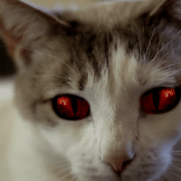 Hell's Kitty: un chat sans queue