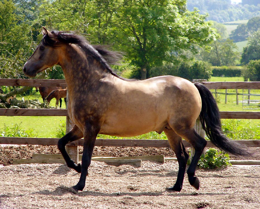Morgan Horse Breed Information History Videos Pictures