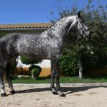 Dapple Gray Horse Facts With Pictures Horsebreedspictures Com