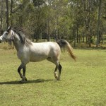 Espirit Shaniah Arabian Mare Grey Horses For Sale Nsw Newcastle