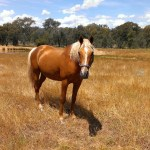 Goldy Australian Stockhorse Stallion Palomino Horses For Sale Vic North East