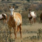 Native American Horse Breeds Horse Illustrated