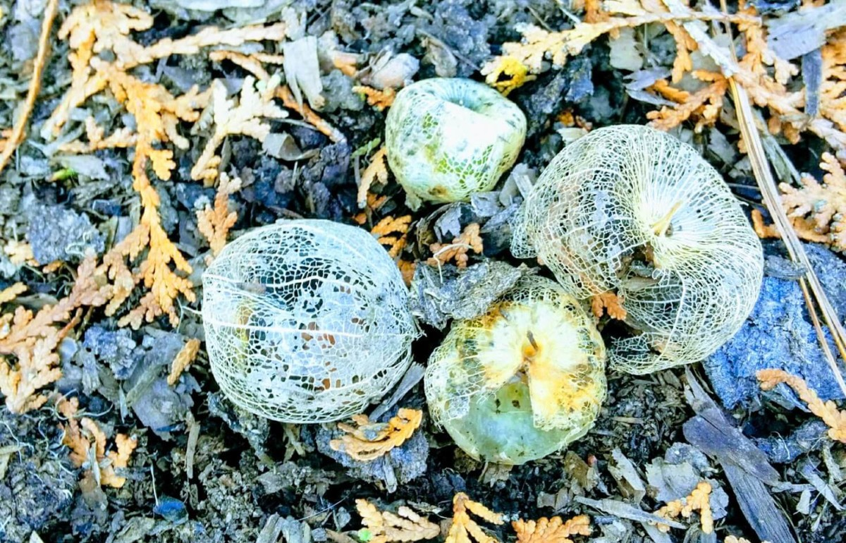 Tomatillo Art