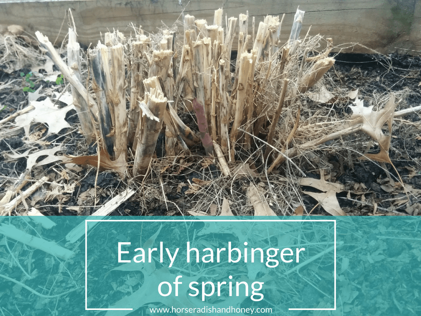 Horseradish & Honey | Early Harbinger of Spring