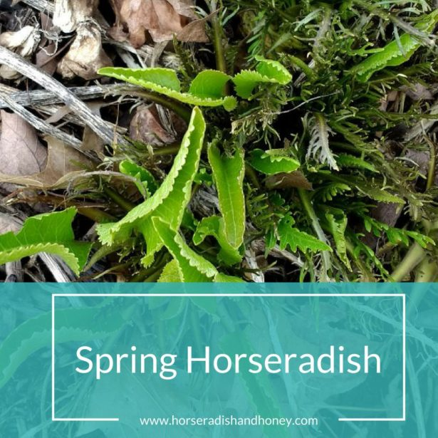 Spring Horseradish | Horseradish & Honey