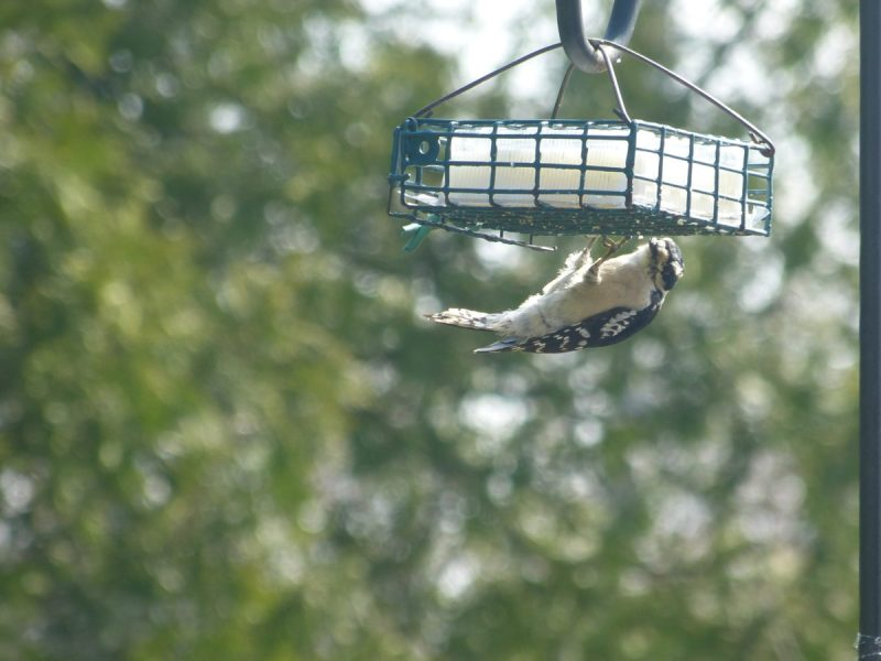 Downy Woodpecker on Suet Feeder | Horseradish & Honey
