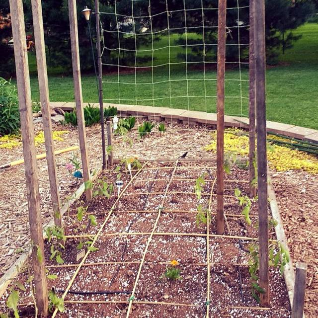 Tomatoes planted and staked Growing a variety including Gardeners Delighthellip