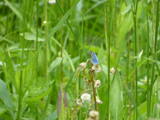Karner blue butterfly. Photo taken at Hope Springs Institute i Ohio.