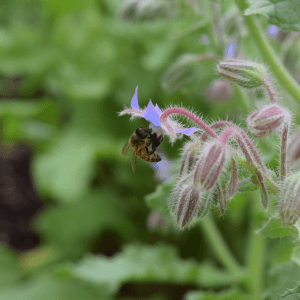 Bee on a Borage Flower | Horseradish & Honey