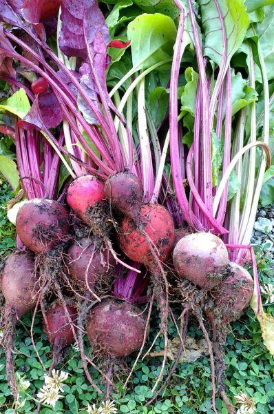 Beets Just Harvested | Horseradish & Honey