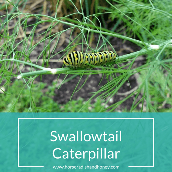 Swallowtail Caterpillar on Dill Plant | Horseradish & Honey