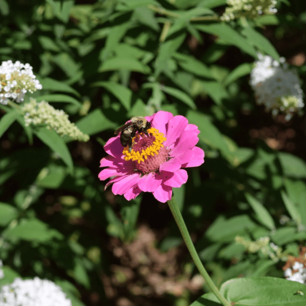 Bees and Zinnias | Horseradish & Honey