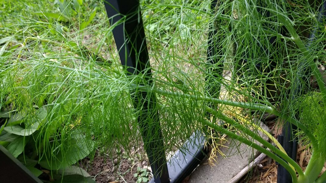Fennel 4 Swallowtail Caterpillars | Horseradish & Honey