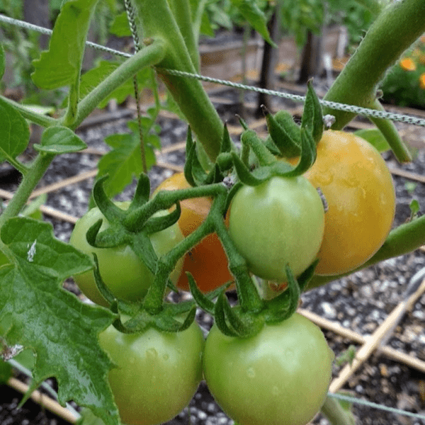 First Blush of Ripening Tomatoes | Horseradish & Honey
