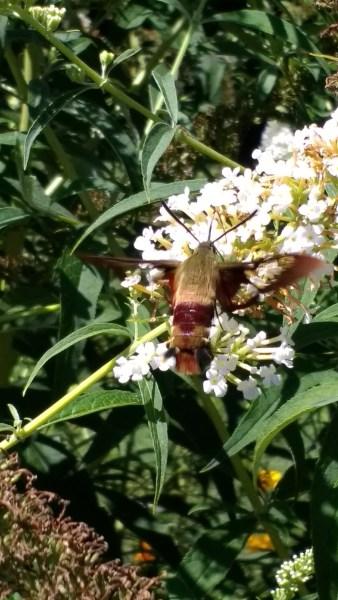 Hummingbird Moth | Horseradish & Honey