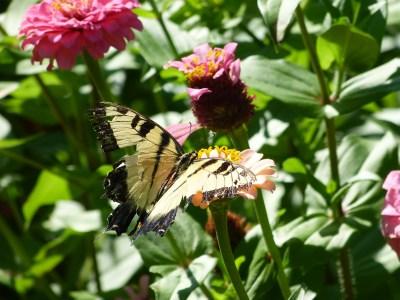 Tiger Swallowtail | Horseradish & Honey
