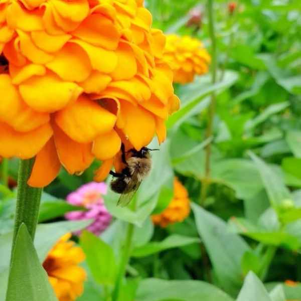 Bee Hanging Out on a Zinnia | Horseradish & Honey