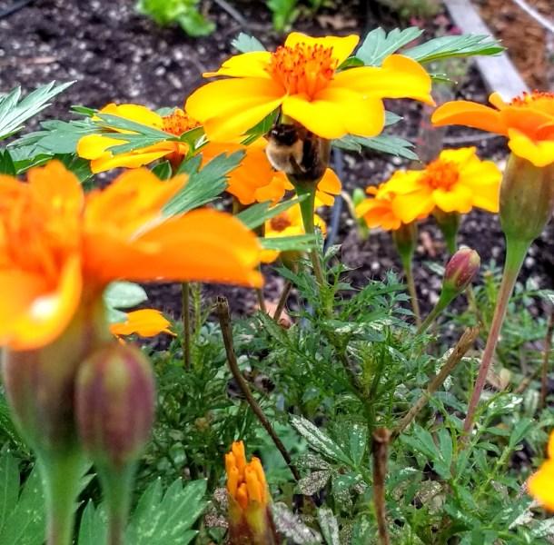 Bee-Under-Marigold-Flower-Horseradish-And-Honey