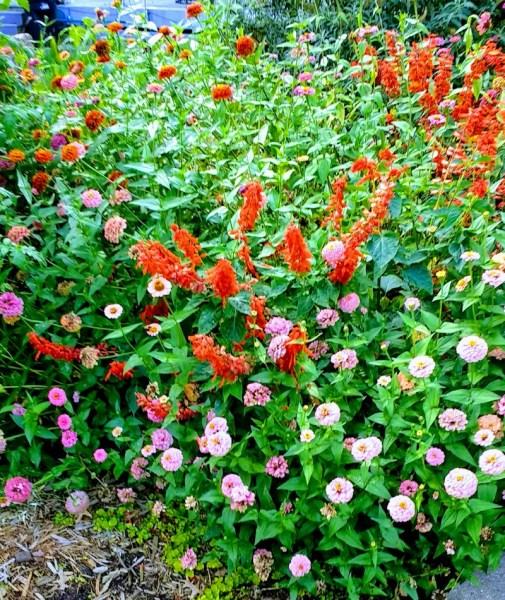 Zinnias and Salvia   Horseradish & Honey