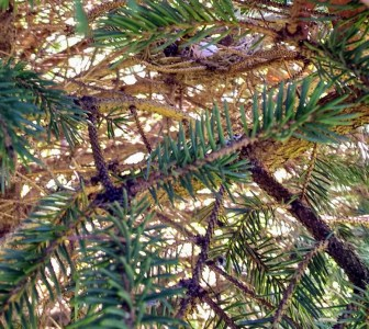 Bird's nest in pine tree | Horseradish & Honey blog