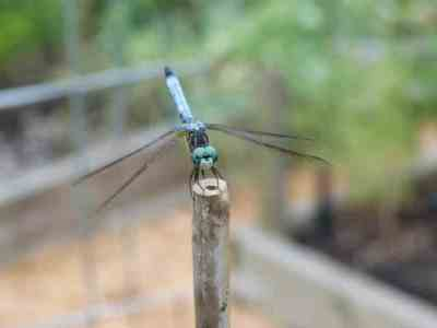 Dasher dragonfly perched on a stake in the garden