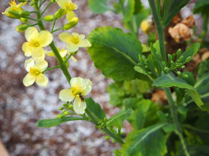 Brussels Sprouts in Bloom | Horseradish & Honey Blog