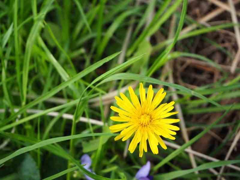 Dandelion Flower | Horseradish & Honey Blog