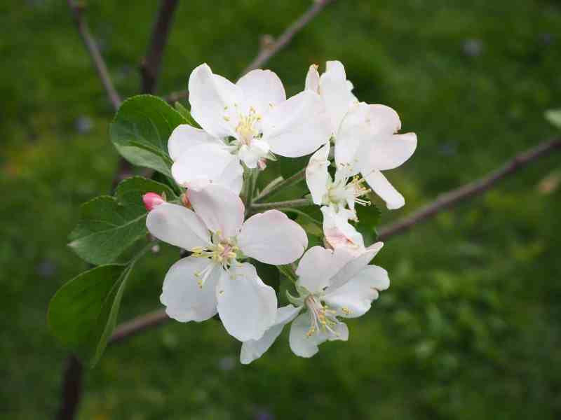 Apple Blossom | Horseradish & Honey blog